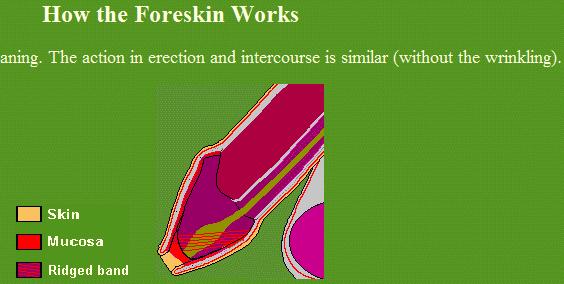 Penis foreskin erect