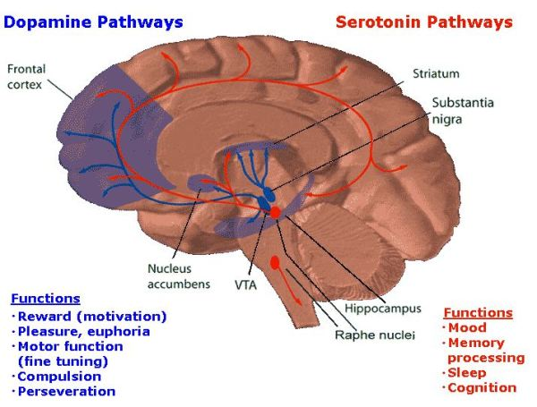 addiction - dopamine and serotonin pathways from wiki
