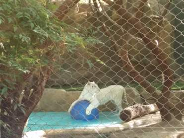 mirage-hotel-white-tiger-playing